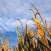 GMO labeling among four Colorado ballot measures as election enters final week