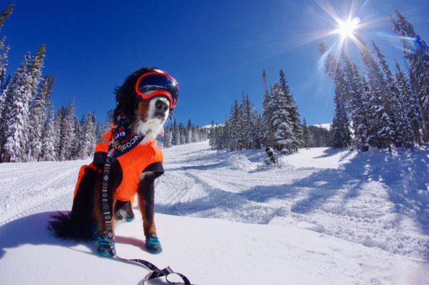 loveland ski dog